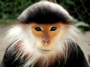 langur_red_shanked_douc